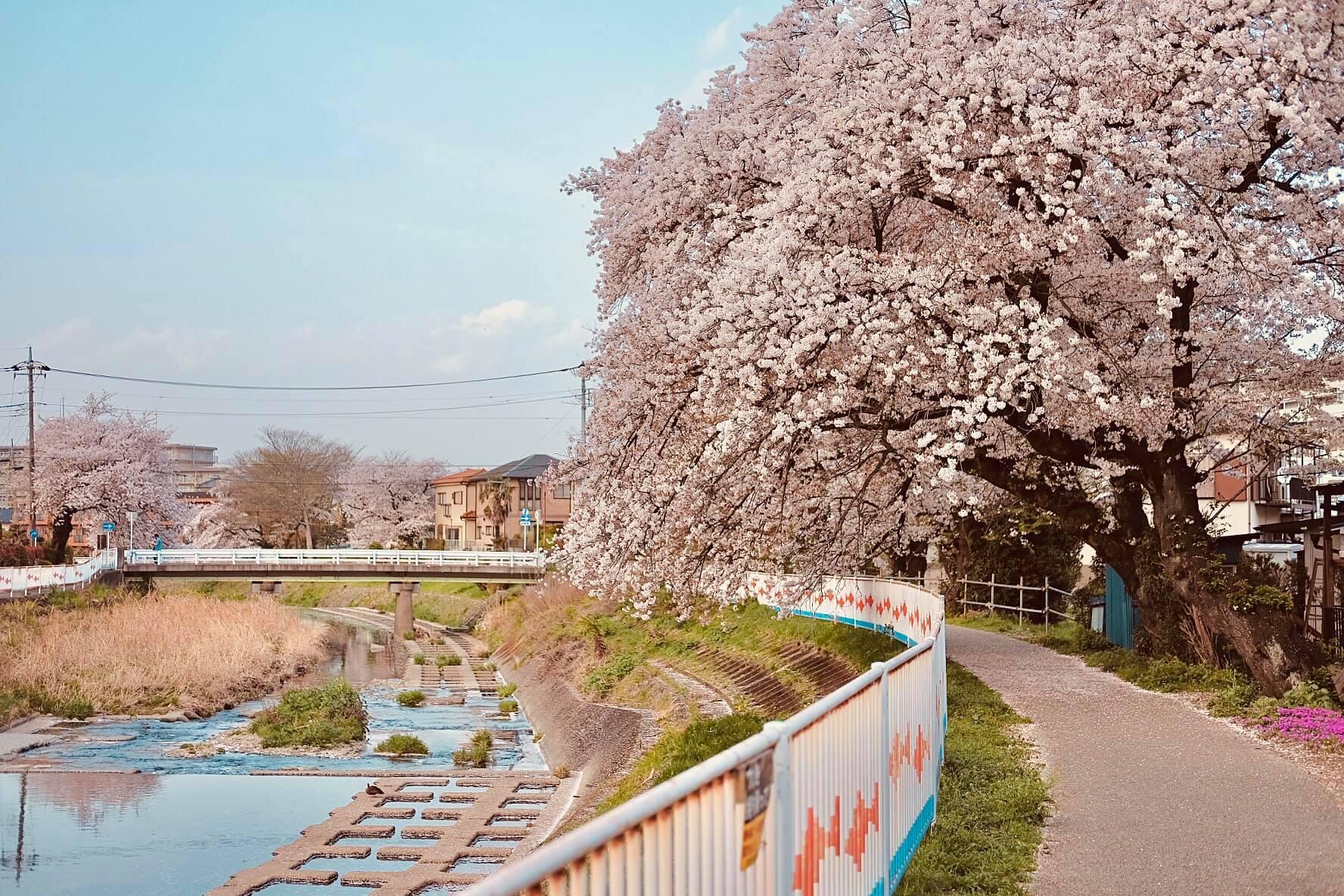 Cherry blossom season in Saitama, Japan