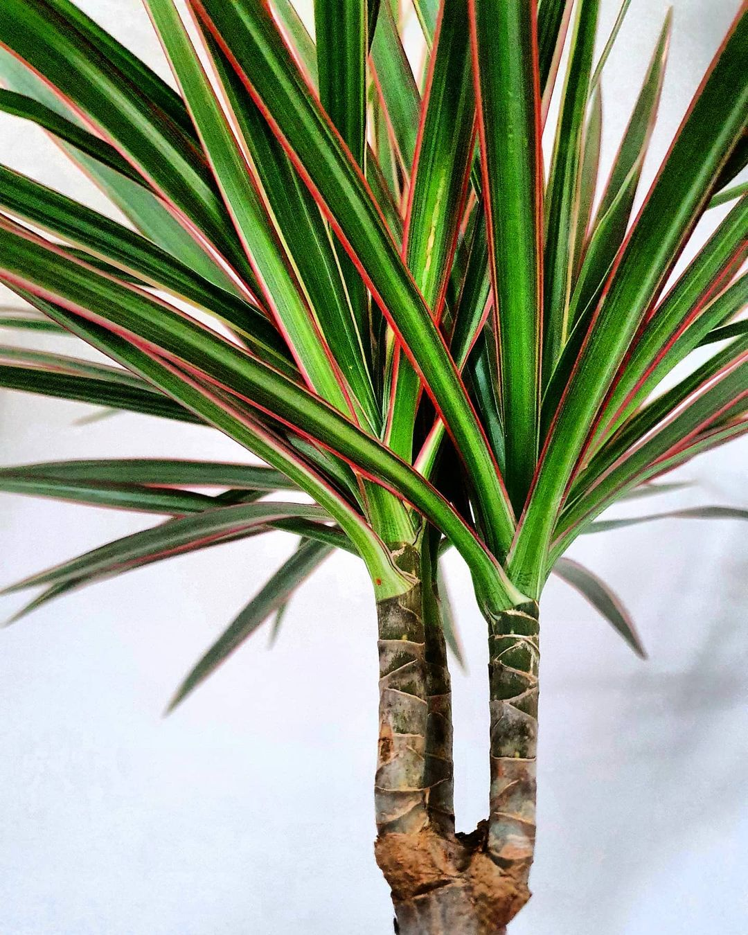 Dragon Tree is a low-maintenance plant for your home office