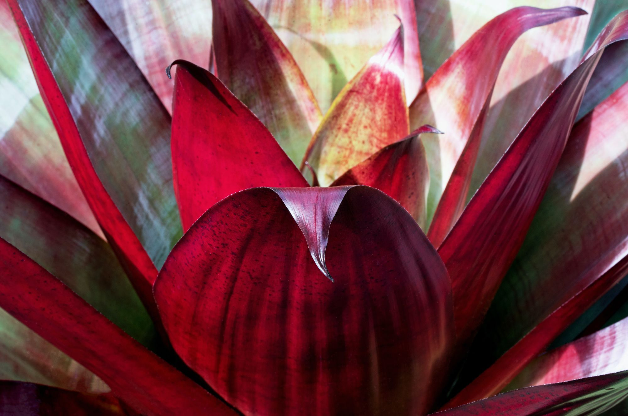 A close-up photo of the large bromeliad plant