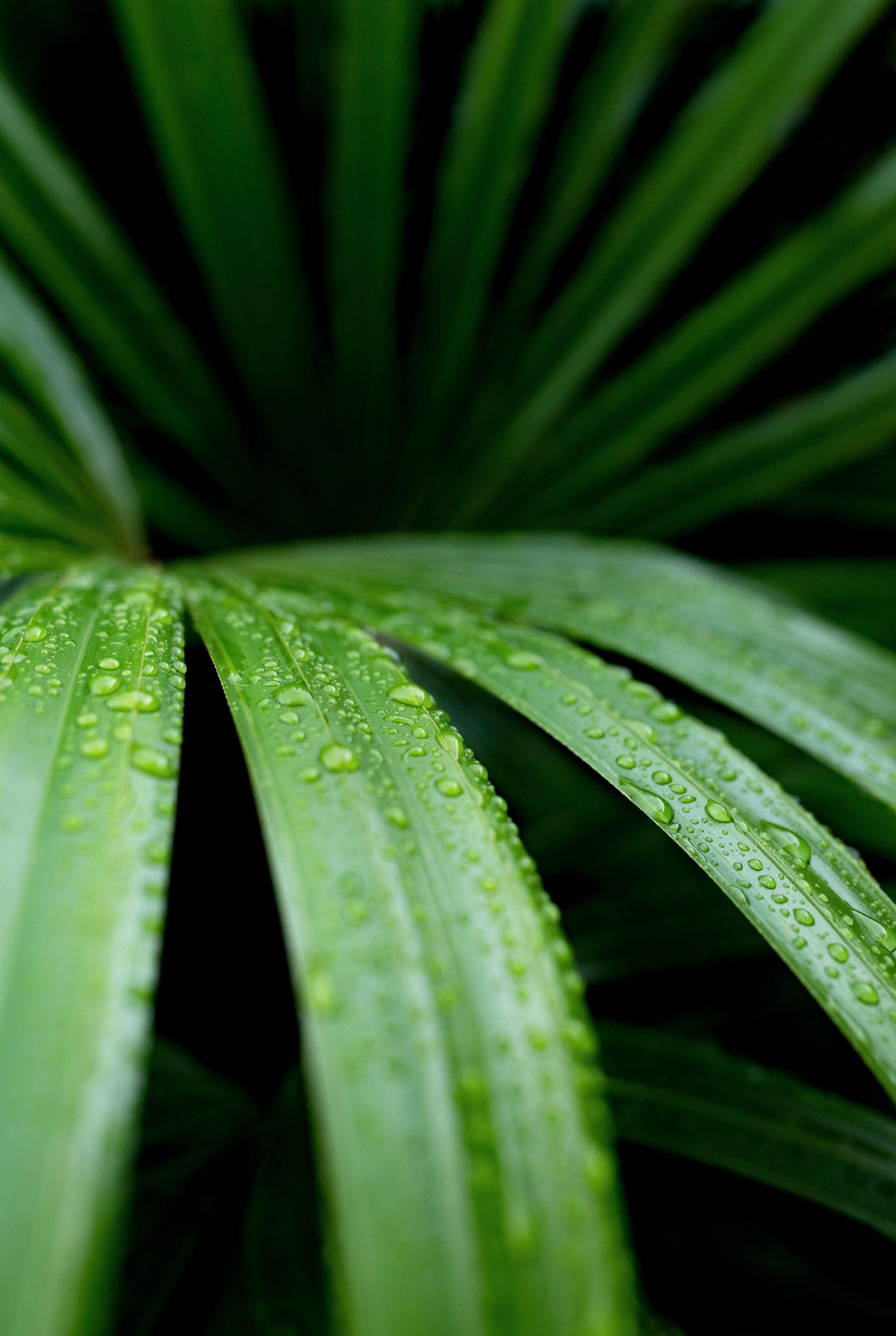 Lady palm or Rhapis palm, Rhapis excelsa