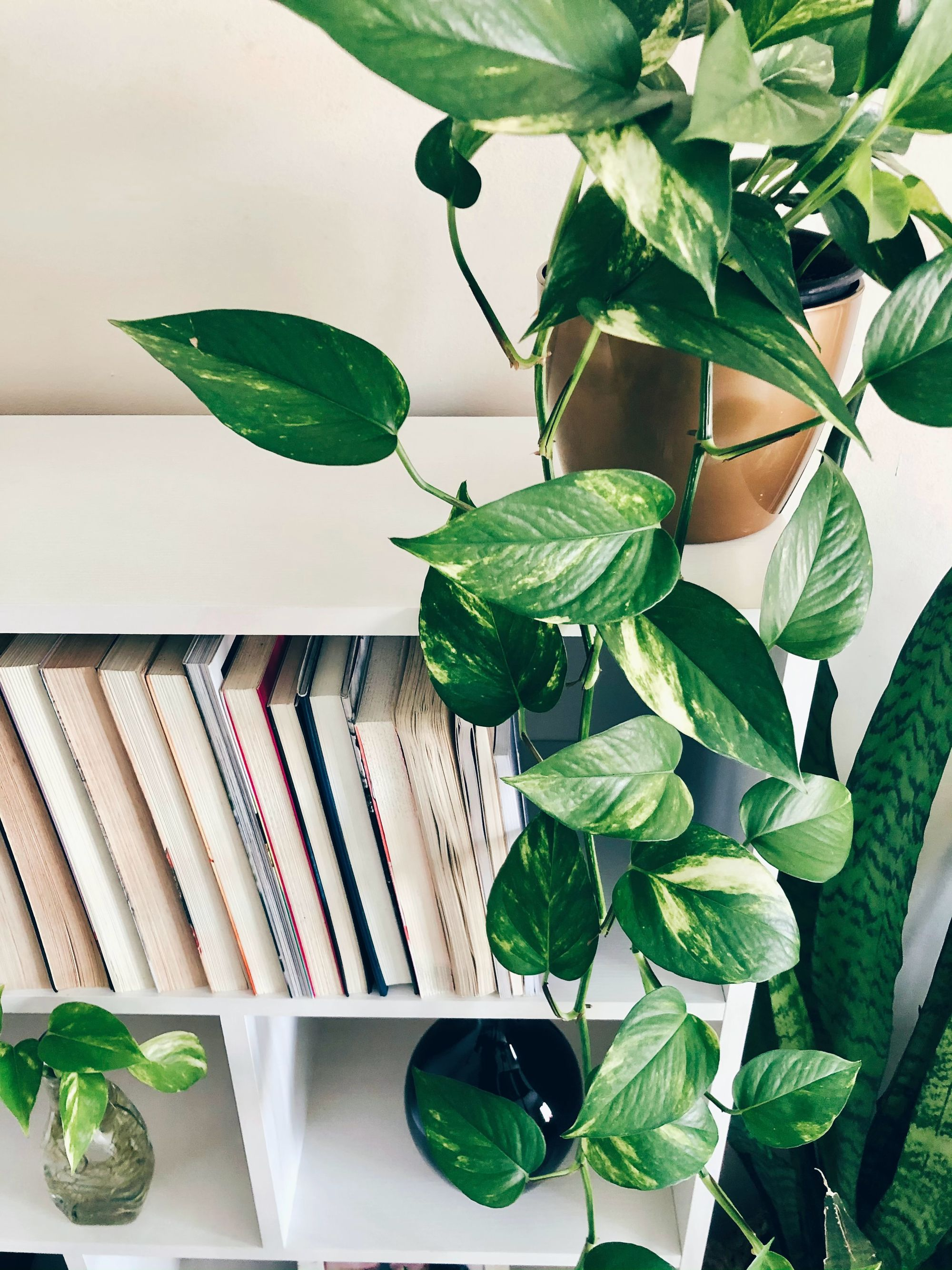 Also known as Devil's Ivy, Pothos is a resilient plant that thrives in spaces with little natural light