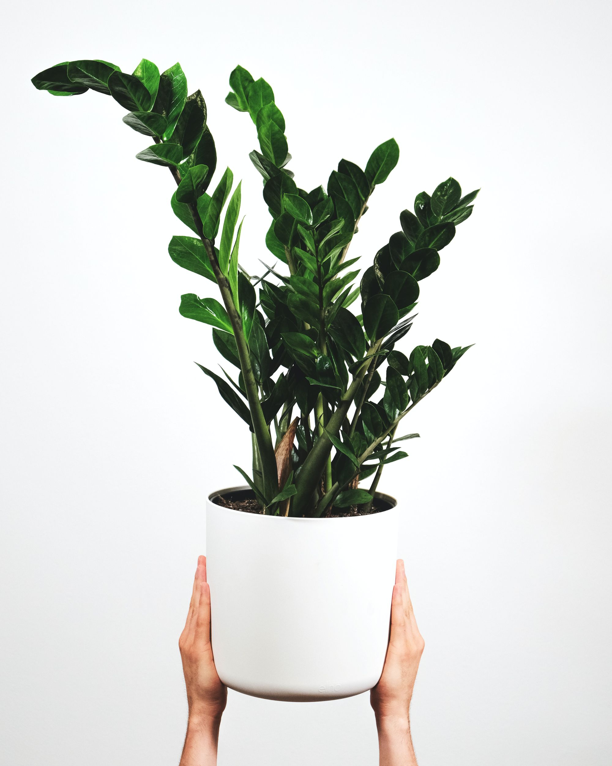 Unkillable plant for a home office — ZZ Plant (Zamioculcas)