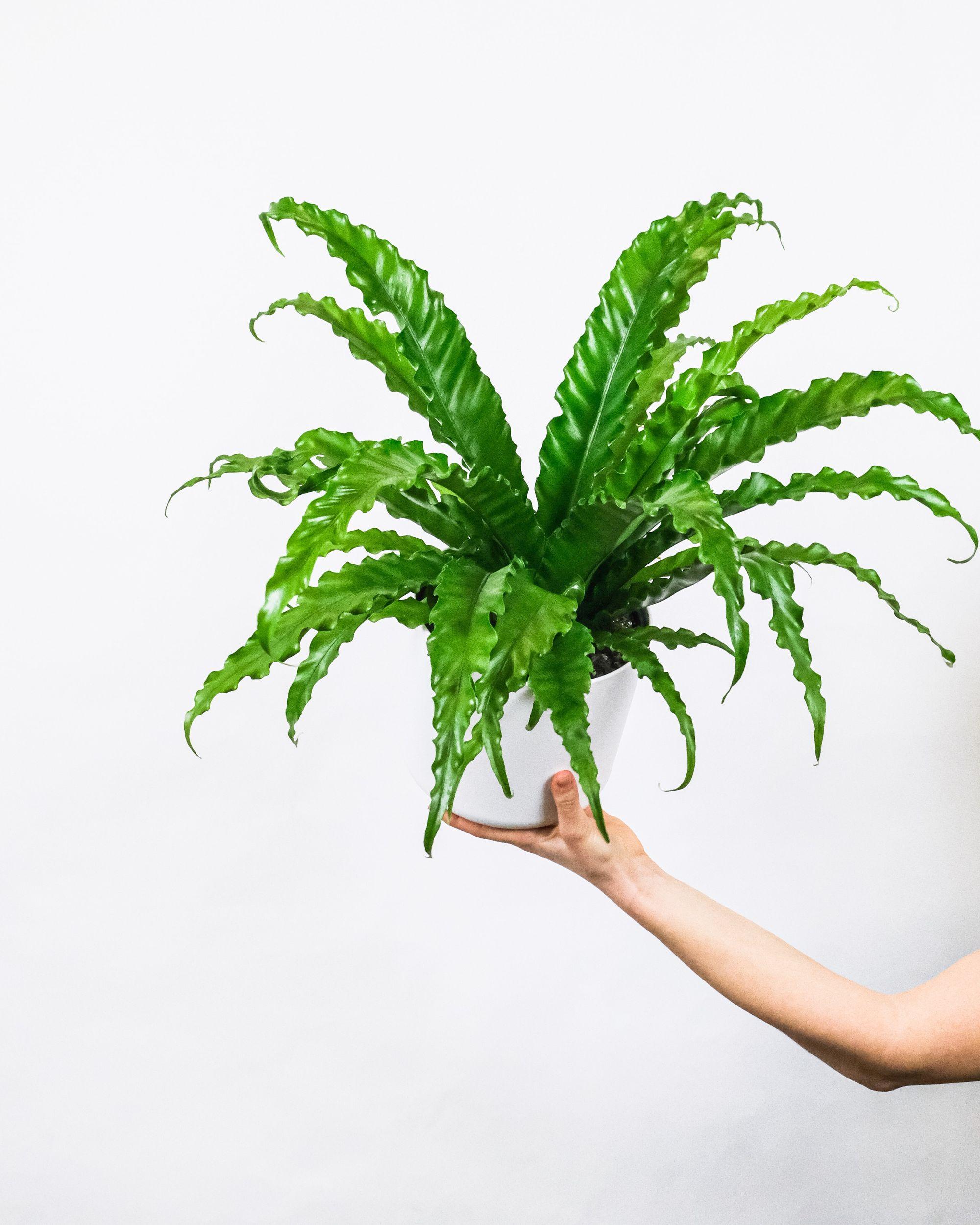 A woman's hand holding the asplenium nidus aka the bird's nest fern